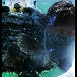 Shellfishing & oil minions blame sea otters for effects of global warming