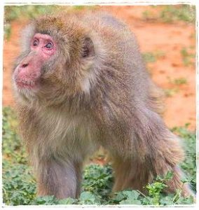 Simon snow monkey