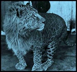 """Ban white tigers & lion/tiger hybrids,"" sanctuarians beg ... - photo#31"