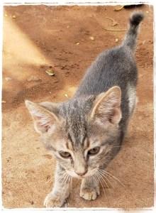 Kenya kitten