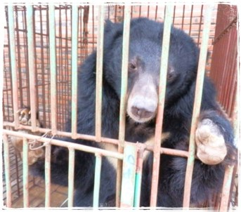 Moon bear in cage