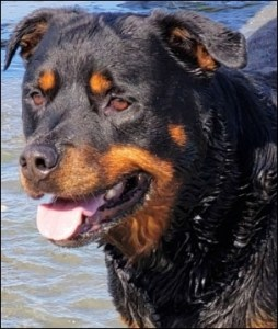 Rottweiler in the sea