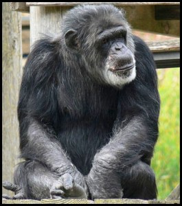 Cobby as an old chimp at the San Francisco Zoo