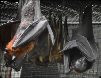 African straw fruit bats at Zoo Tampa