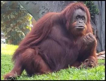 Violet the orangutan.