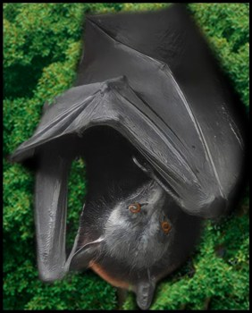 Straw colored fruit bat in a tree