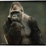 Gorillas in solitary:  Ndume wins parole.  Now what about King?