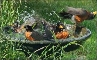 Robins birds in the bird bath