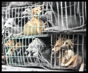 Humane Society International photo of dog meat trade