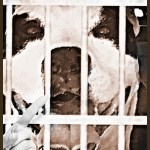 Pit bulls bring turmoil & turnover to Chicago & Oakland animal shelters