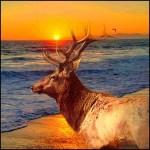 Tule elk at seashore