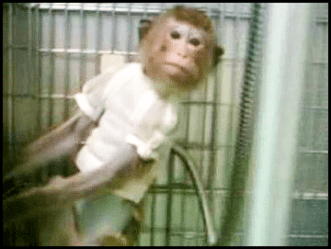 From PETA video of SNBL monkey use
