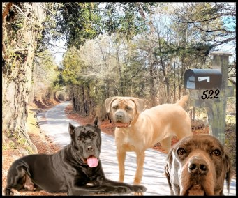 Cane corsos on a country road
