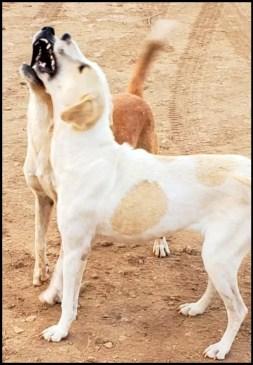 Kenya dogs