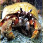 Scientists confirm:  Hurt crabs feel pain