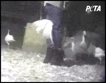 Abusive turkey farm workers