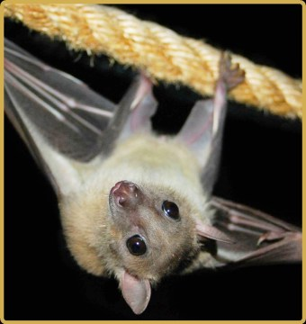 Death of Florida 6-year-old reminds that bat rabies can