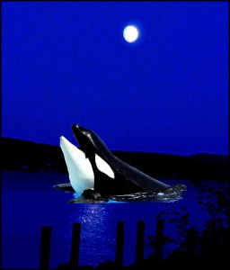 Orca in Saratoga Passage