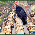 """Undertaker birds"" replace street dogs in African cities"
