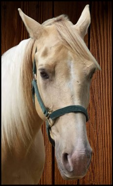 Palomino Tennessee walking horse