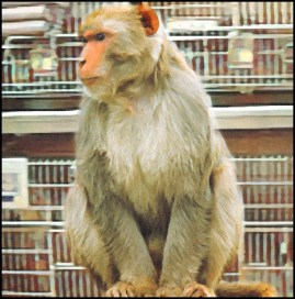 macaque monkey with lab cages