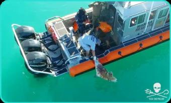 Dead vaquita (Sea Shepherd)