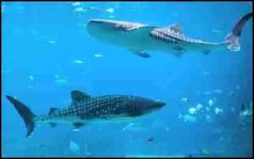 Whale sharks at Georgia Aquarium