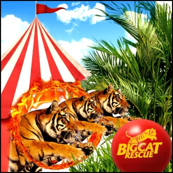 Circus tigers jumps through fire