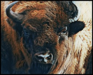 Collage of American and European bison