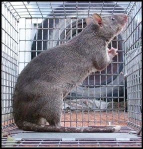 Giant Gambian pouched rat