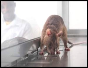 APOPO tuberculosis detection rat sniffing sputum sample.