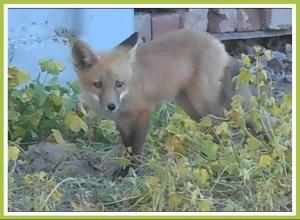 Fox. (Dennis Baker photo)