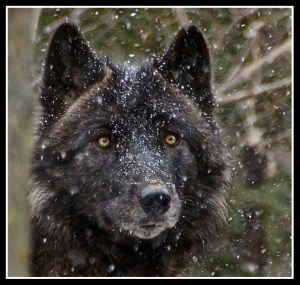 Wolf. (Flickr photo)