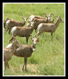 Bighorn sheep herd. (WSU photo)