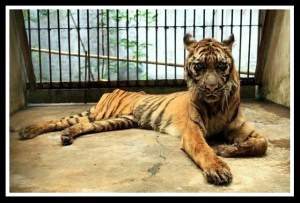 Rama the tiger died of heart failure at the Surabaya Zoo in April 2016.