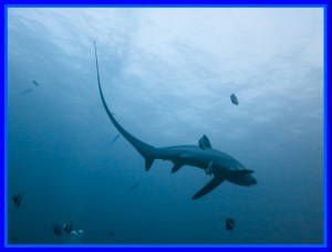 Thresher shark. (Flickr photo)