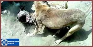 NSPCA dogfighting #2