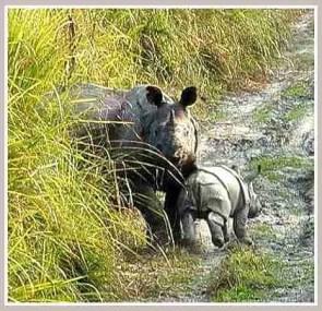 Rhinos. (Johnny Rodrigues/Zimbabwe Conservation Task Force)