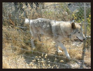 Wolf hybrid at Spirit of the Hills. (Spirit of the Hills photo)