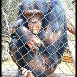 Argentinian court grants zoo chimp a writ of habeas corpus