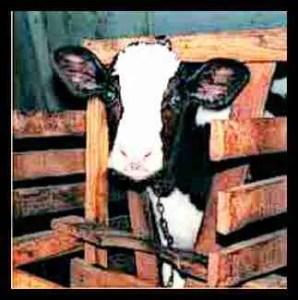 Veal calf. (Humane Farming Association photo)
