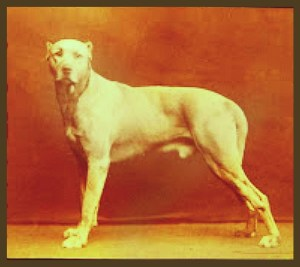 Cuban bloodhound. (1881)