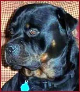 Rottweiler. (Beth Clifton photo)