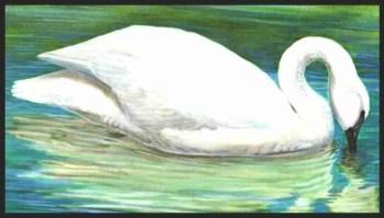 Trumpeter swan, painted by Barry Kent Mackay.