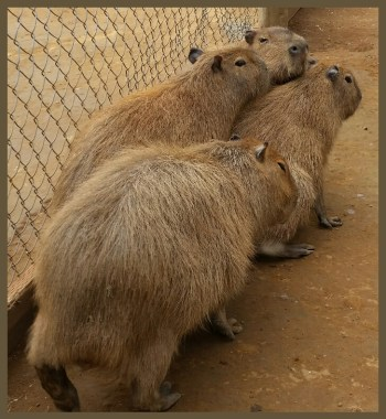 """Capybaras may be poised to be Florida's next invasive rodent,"" according to the August 12, 2016 edition of Science News. (Beth Clifton photo)"