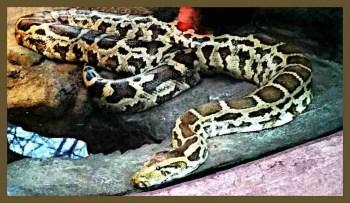 Python. (Beth Clifton photo)