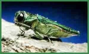 Emerald ash borer. (Michigan State University photo)
