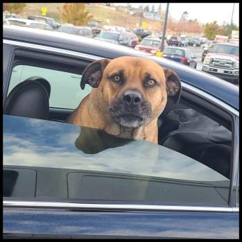 Pit bull mastiff mix in a car