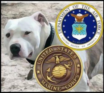 Pit bull with marines and airforce emblem