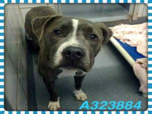 Pit bull offered for adoption by San Antonio Animal Care Services.